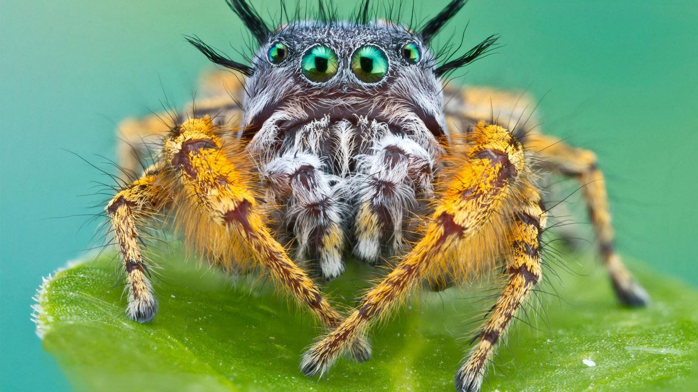 Обои насекомое, паук, лист. Макро foto 17