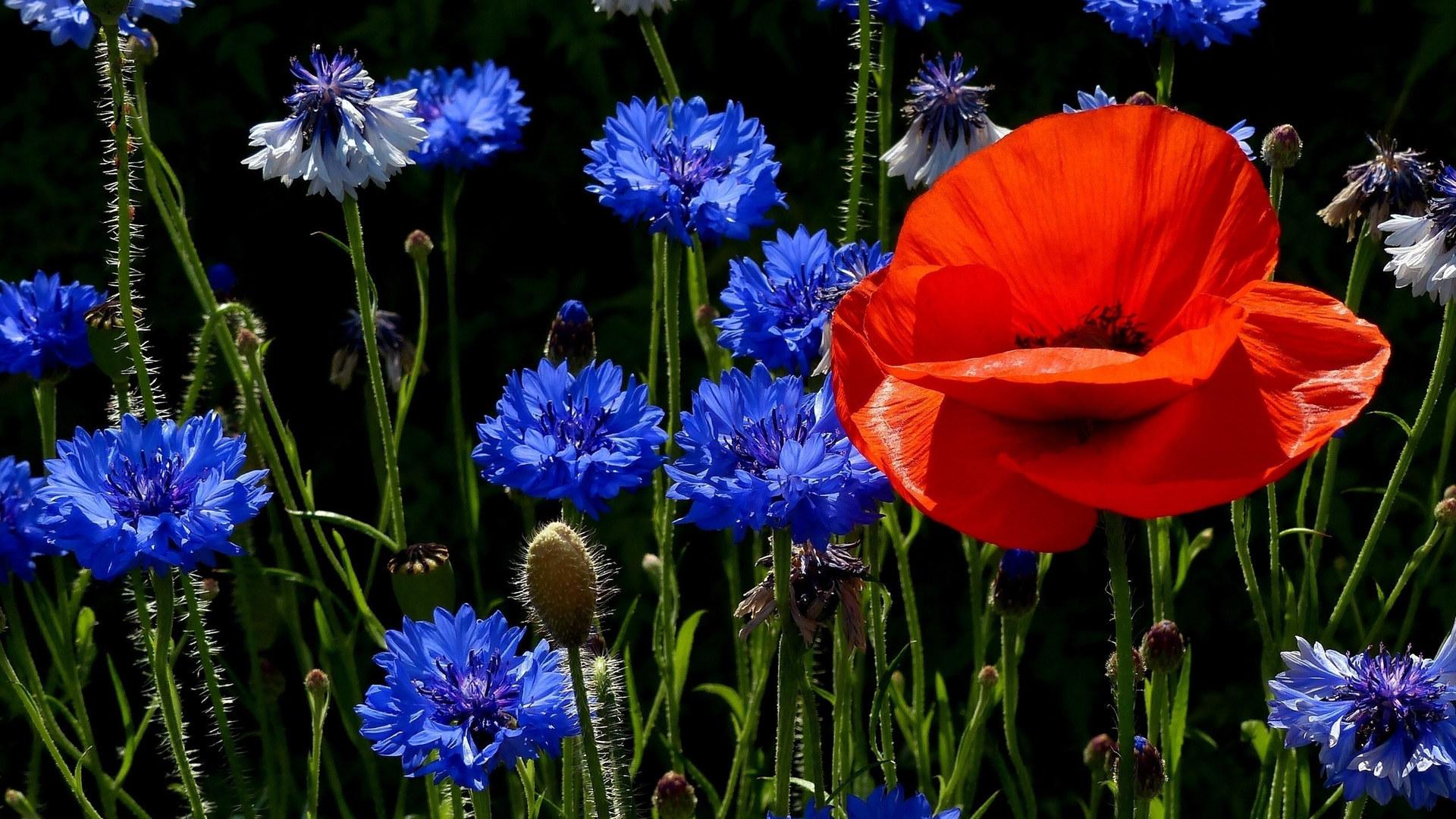 полевые цветы картинки скачать
