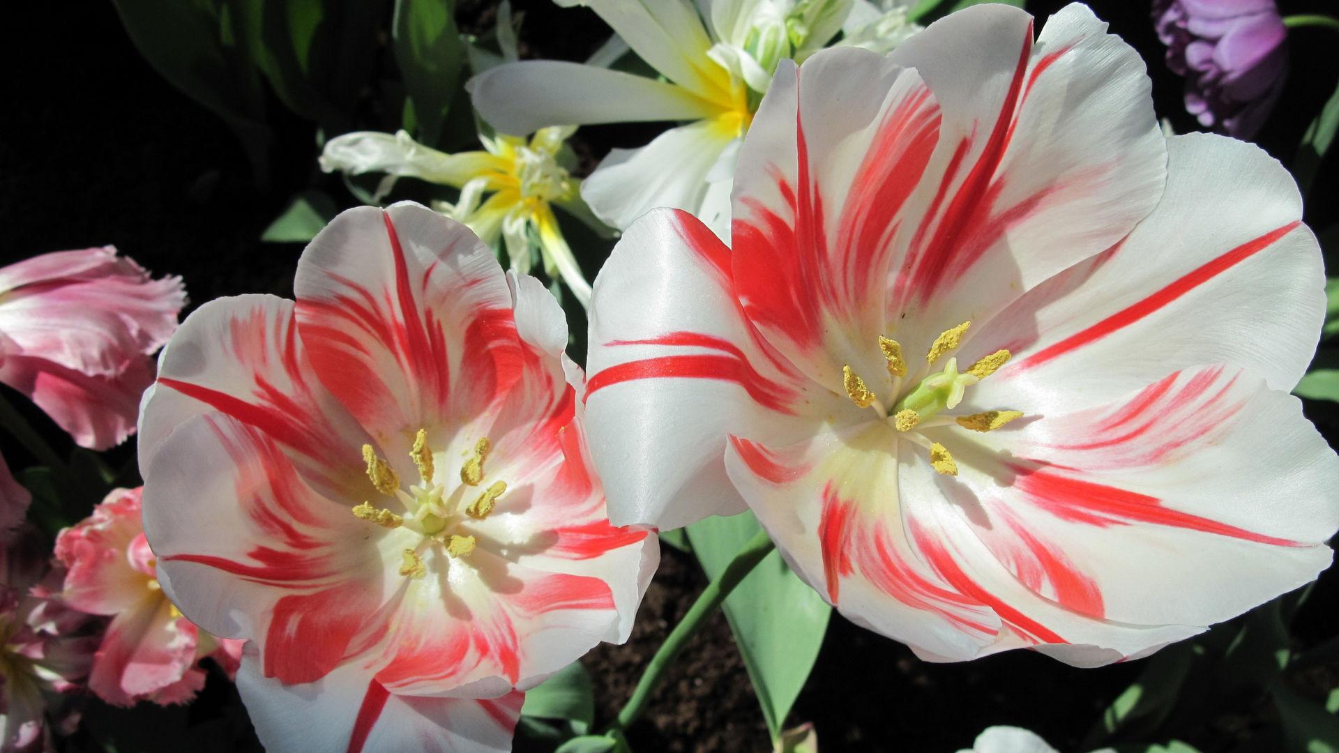 a6d68baa28c Обои цветы 1920x1080 картинки фото HD обои цветы 1920x1080 скачать ...