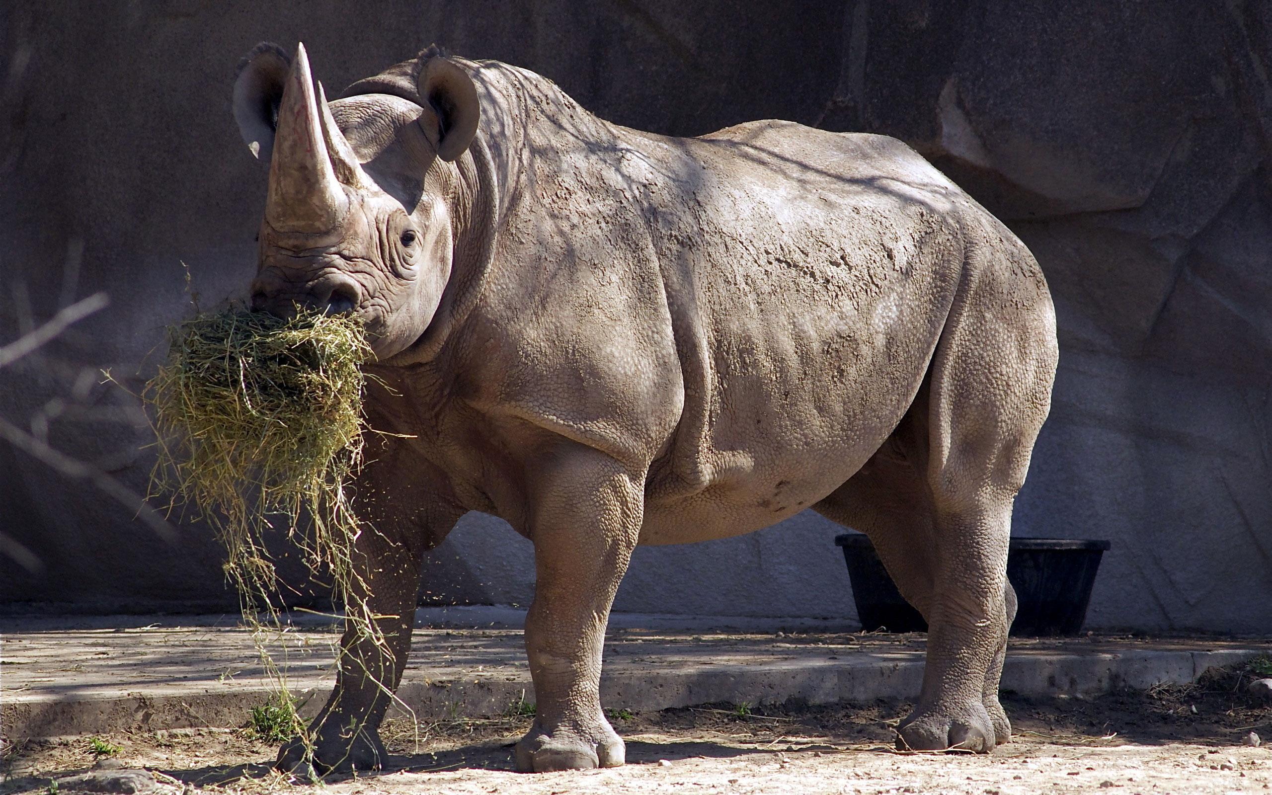 Обои носороги. Животные foto 15